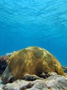 Brain coral in the caribbean sea Stock Photos