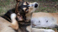 A dog scratching his ear Stock Footage