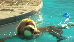 Goldendoodle Swimming In A Pool Trying To Grab Two Balls In His Mouth Stock Footage