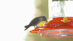 One Hummingbird Standing At A Feeder, Another Eating While Flying Stock Footage