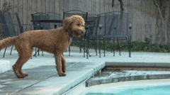 Goldendoodle Retrieving A Ball From A Pool Stock Footage