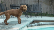 Stock Video Footage of Goldendoodle Retrieving A Ball From A Pool