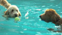 Two Goldendoodles Swimming In And Getting Out Of A Pool Stock Footage
