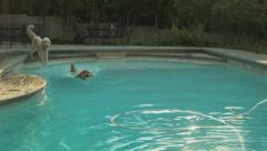 Goldendoodle Retieving A Ball In A Beautiful Suburban Pool Stock Footage