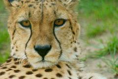 Gepardi (acinonyx jubatus) etsii Kuvituskuvat