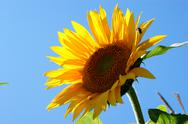 Stock Photo of sunflower with a leaf - clear summer blue sky.