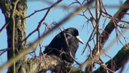 Stock Video Footage of Black crow sitting on tree branch
