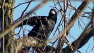 Stock Video Footage of Black crow bird sitting on tree branch