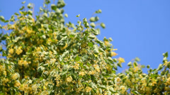 Lime tree top on blue background in summer Stock Footage
