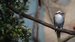 Close-up of laughing kookaburra bird Stock Footage