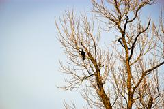 crow on the barren tree - stock photo
