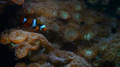 Clown fish on anemone Stock Footage