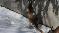 Young confused kangaroo playing in the snow Stock Footage