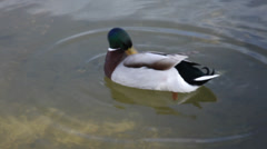 Duck in the water Stock Footage