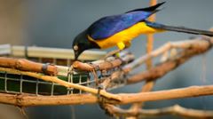 The golden-breasted starling - lamprotornis regius, also known as royal starl Stock Footage