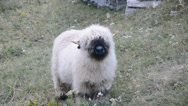 Stock Video Footage of Chewing wallis sheep