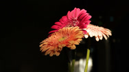 Stock Video Footage of Bouquet of gerbera flowers, the camera moves around