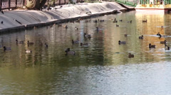 Many swiming ducks in city pond Stock Footage