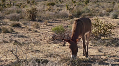 Wild Burros Grazing in the Mojave Desert Stock Footage