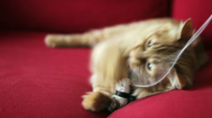 Cute Yellow Cat Playing with a Toy - On the Red Couch Stock Footage