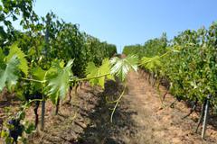 Vine grape Stock Photos