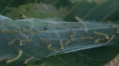 Caterpillar Nest on Leaf HD Stock Footage