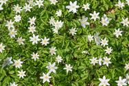 Stock Photo of wood anemone