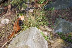 red panda, ailurus fulgens - stock photo