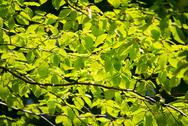 Stock Photo of branch of beech tree with leaves