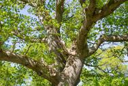 Stock Photo of old oak tree in spring