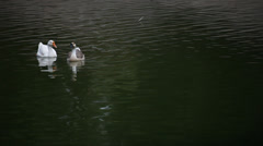 Ducks are swimming in the water Stock Footage