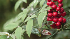 frozen red berries with copy space - stock footage