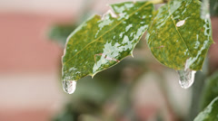 frozen droplettes of water on tender green leaves - stock footage