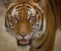 Face of a tiger - stock photo