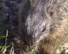 Yellow-bellied marmot eating grass - close up Stock Footage