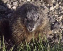 Yellow-bellied marmot eating grass - eye to eye - stock footage