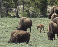 Bison herd & calves grazing in Yellowstone National Park Stock Footage