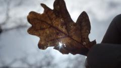Man holds oak leaf up to sun Stock Footage