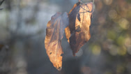 Stock Video Footage of Autumn leaves. Blurry background.