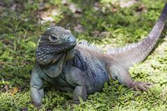 Endangered Blue Iguana Stock Photos