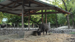 Water buffalo at the zoo Stock Footage