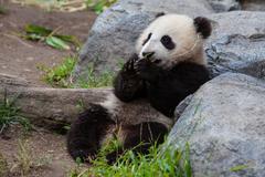 Baby panda Stock Photos