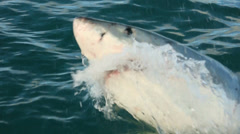 Stock Video Footage of Great white shark surface bait launch