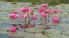 Purple lilies in garden pond close up Stock Footage