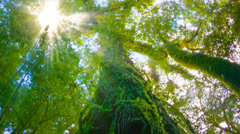 The trees in the humid tropical forest covered with moss Stock Footage
