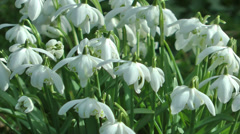 Snow Drops Spring Flowers White Background Stock Footage