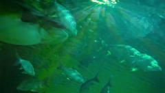 Largest freshwater fish in the depths of a tropical lake Stock Footage