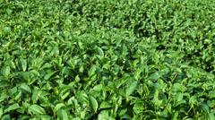 Tea bush close up Stock Footage