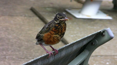 Baby American Robin Stock Footage