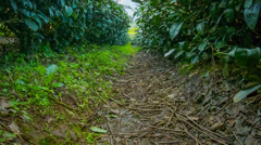 Tea bushes at the mountainous plantation Stock Footage